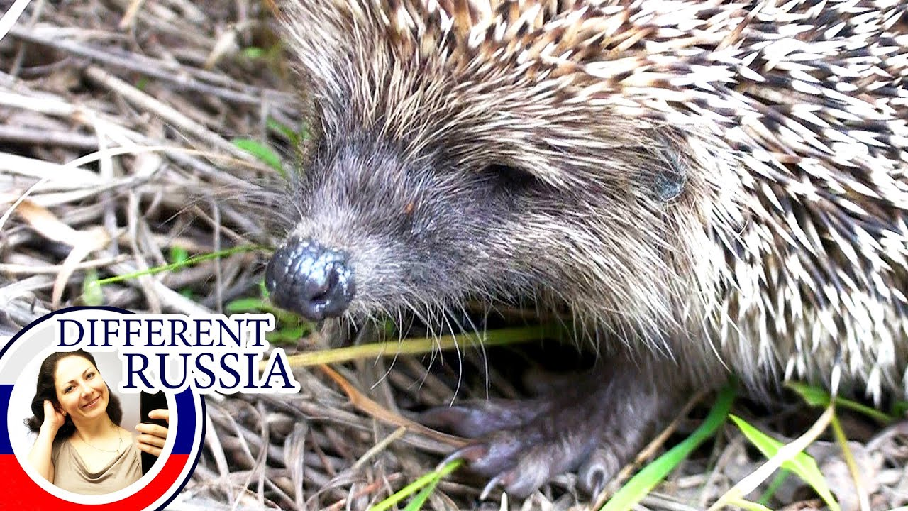 Wild Russian Animals: A Cute & Brave Hedgehog in the ...