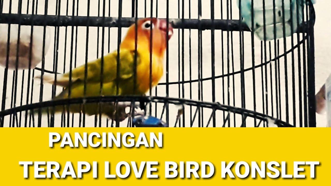 pancingan love bird konslet