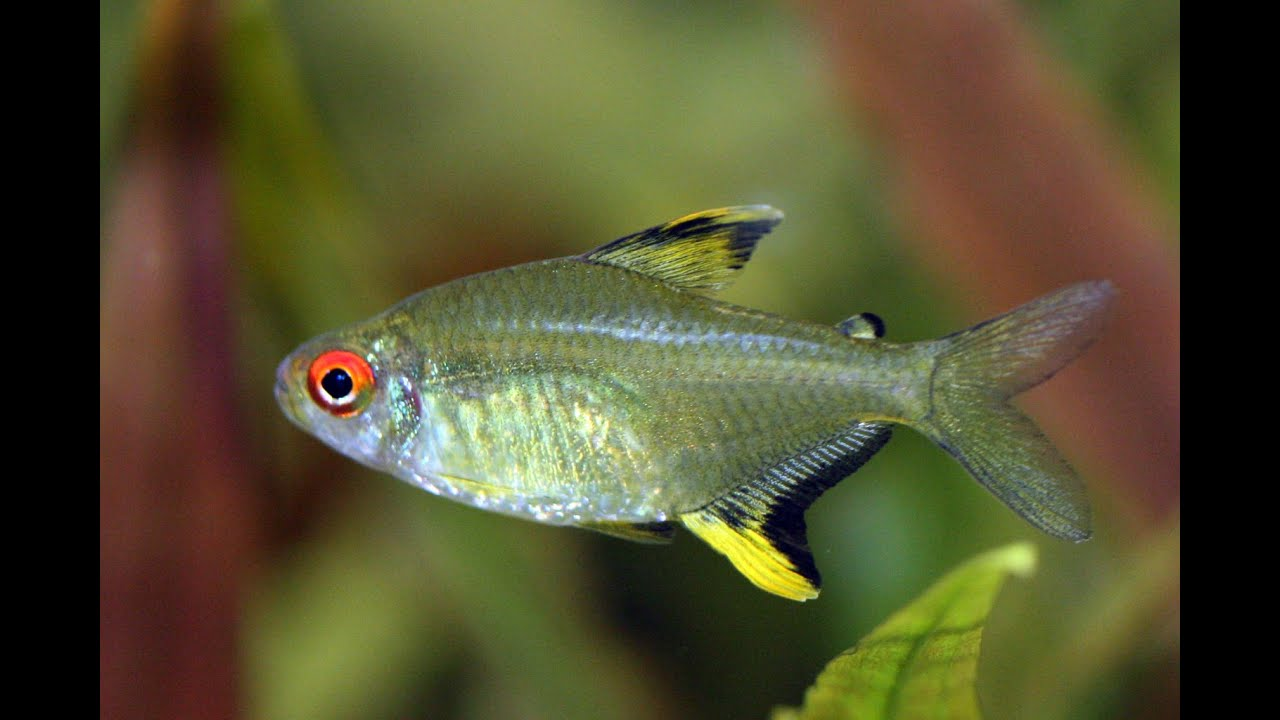 Peces indispensables para acuarios tetras variedades y for Red para peces de acuario