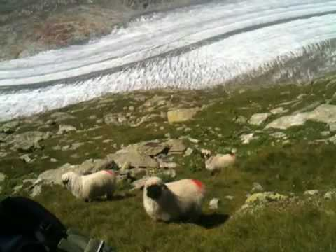 Sheep during hiking