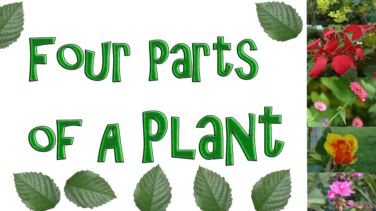 The Four Parts Of A Plant