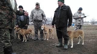 Выставка охотничьих собак в Жердевке 2019 года