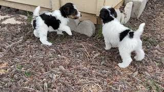 Wire Fox Terrier Pups Playing Outside (5wks)