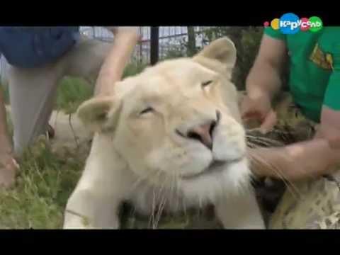 В Мире Животных. Белый Лев
