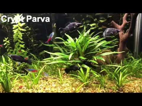 crypt parva slow growing foreground carpet plant youtube