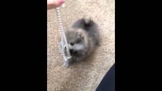 Tiny Teacup Pomeranian For Sale Tiny Size Dog For Sale