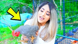 I got a pet Chicken...