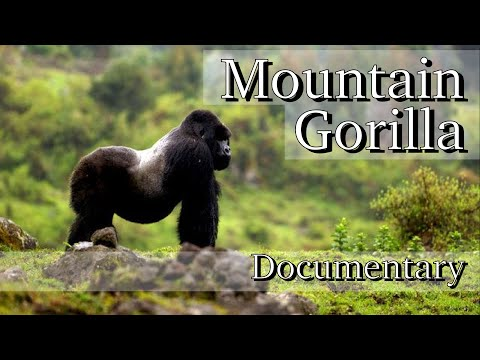 Mountain Gorilla - Full Documentary HD