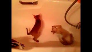Играют абиссинские котята  питомника GOLD VEIN. СПб.