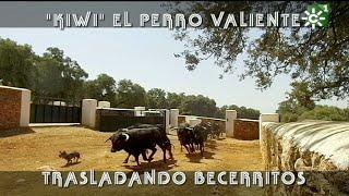 PGM 471 EL PERRO VALIENTE en toros bravos de RESERVATAURO