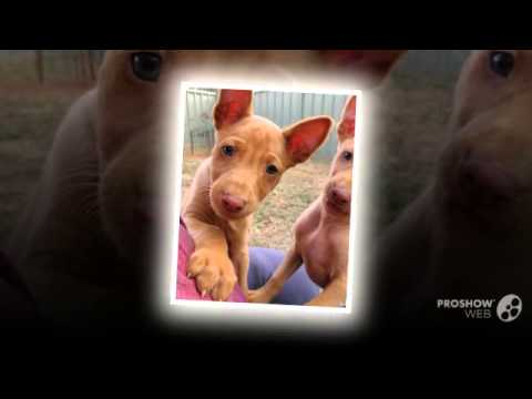 Pharaoh Hound Dog breed