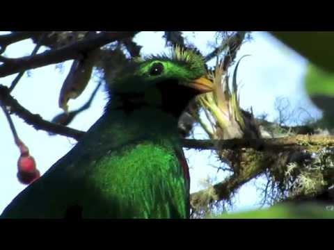 Resplendent Quetzal Bird Watching In Costa Rica