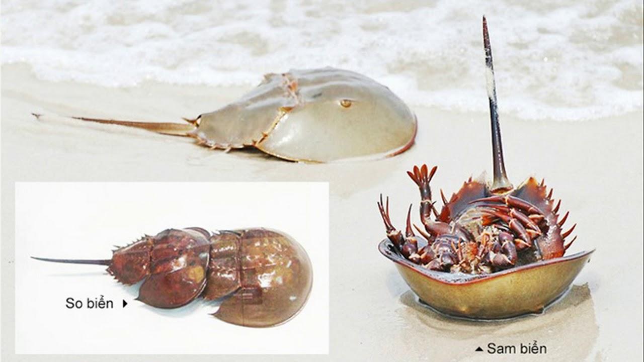 Phòng chống ngộ độc Sam lông – So biển