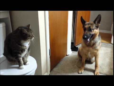 High Prey Drive GSD Learning To Get Along With Cats