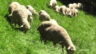 La géolocalisation des cheptels ovins