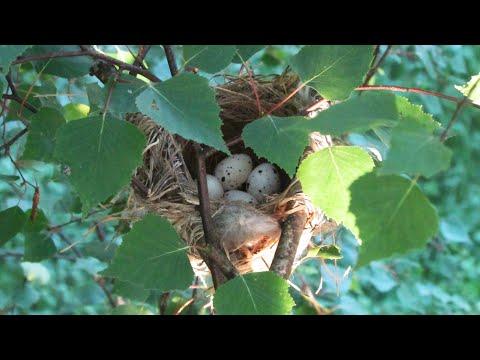Гнездовая жизнь иволги. Интересные факты Птицы России Фильм 24 + English subtitles