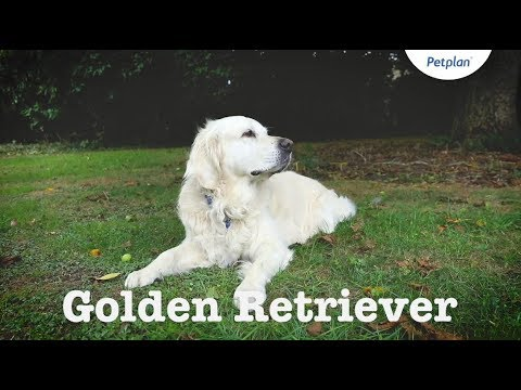 Golden Retriever Puppies & Dogs | Breed Facts & Information | Petplan