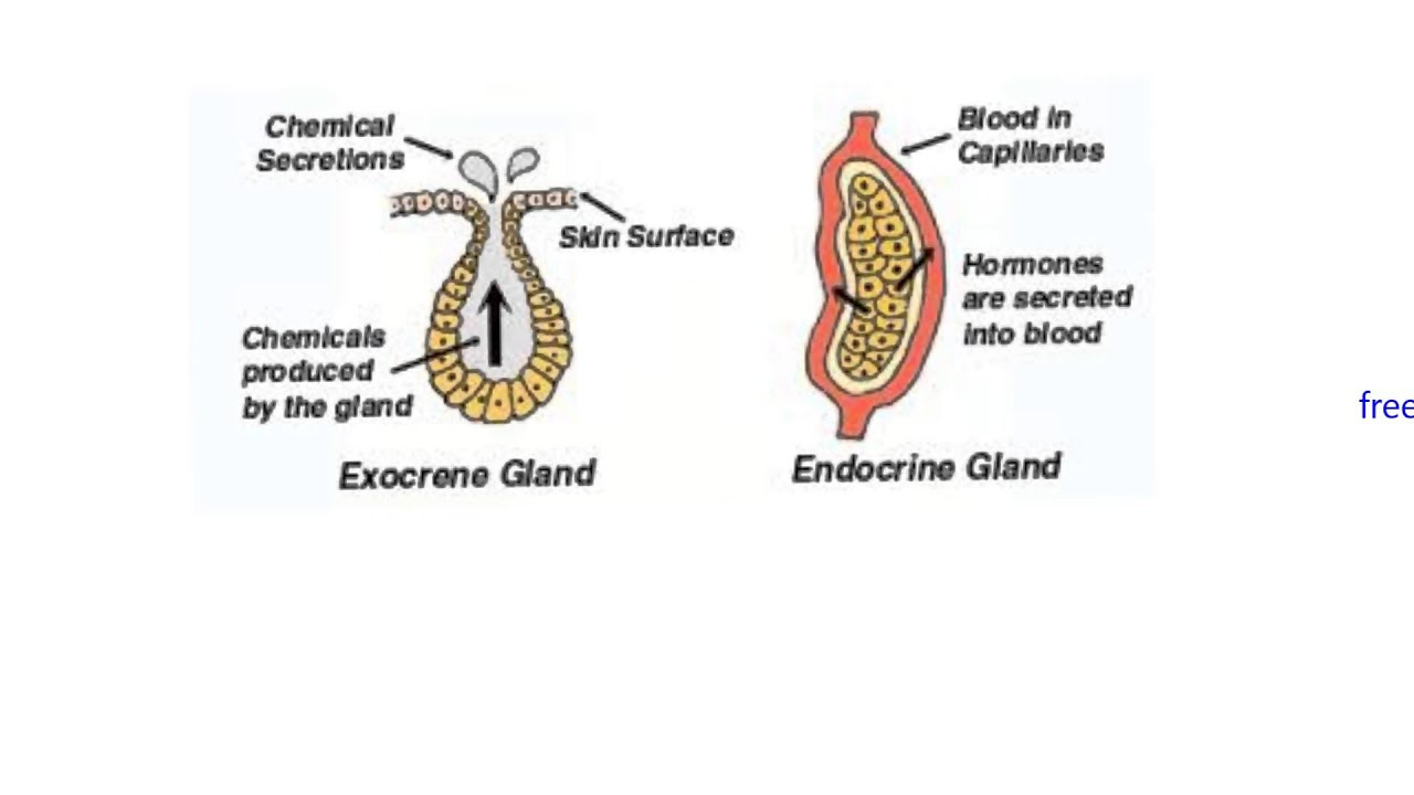Endocrine1 Introduction And Endocrine Vs Exocrine Youtube