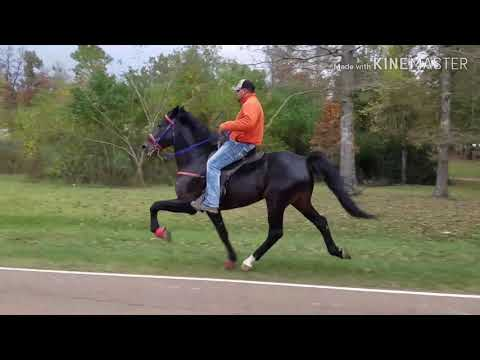 The Fastest Speed Racking Horse In Mississippi!!! Bring Out The Big Gunz