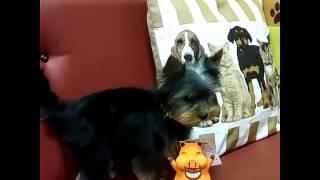 видео стрижка йорка щеночка