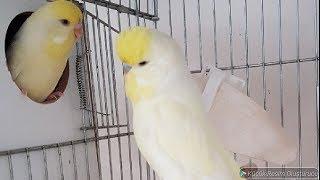 Muhabbet Kuşlarımızın Genel Durumları