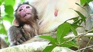 Pity Newborn Baby Monkey No GET Milk Feeding | Scalet No Milk New Baby | Newborn Babies Monkey