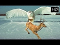 Amazing snowy owl national geographic documentary mp3