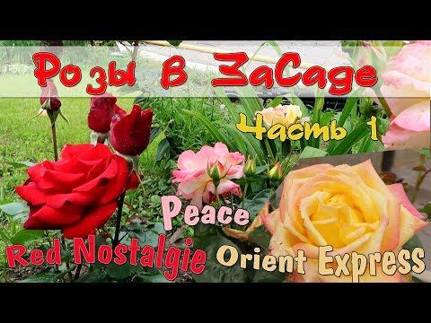 ОБЗОР СОРТОВ РОЗ ДЛЯ СРЕДНЕЙ ПОЛОСЫ. Розы в ЗаСаде: Red Nostalgie, Peace, Orient Express. Часть 1
