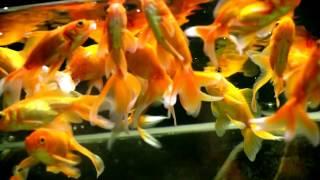 Аквариумные золотые рыбки (Подмосковье)