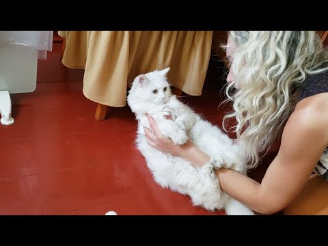Cutest Turkish Angora cat  Morning with my cat, playing and scratching the couch