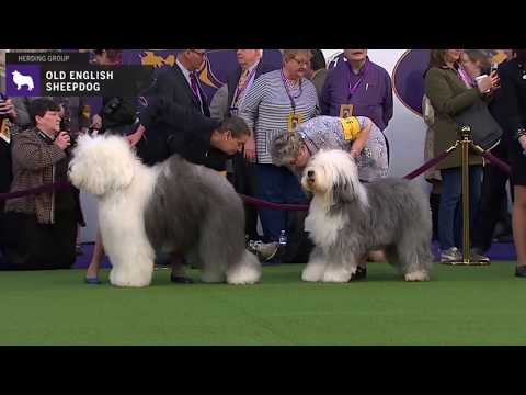Old English Sheepdogs | Breed Judging 2020
