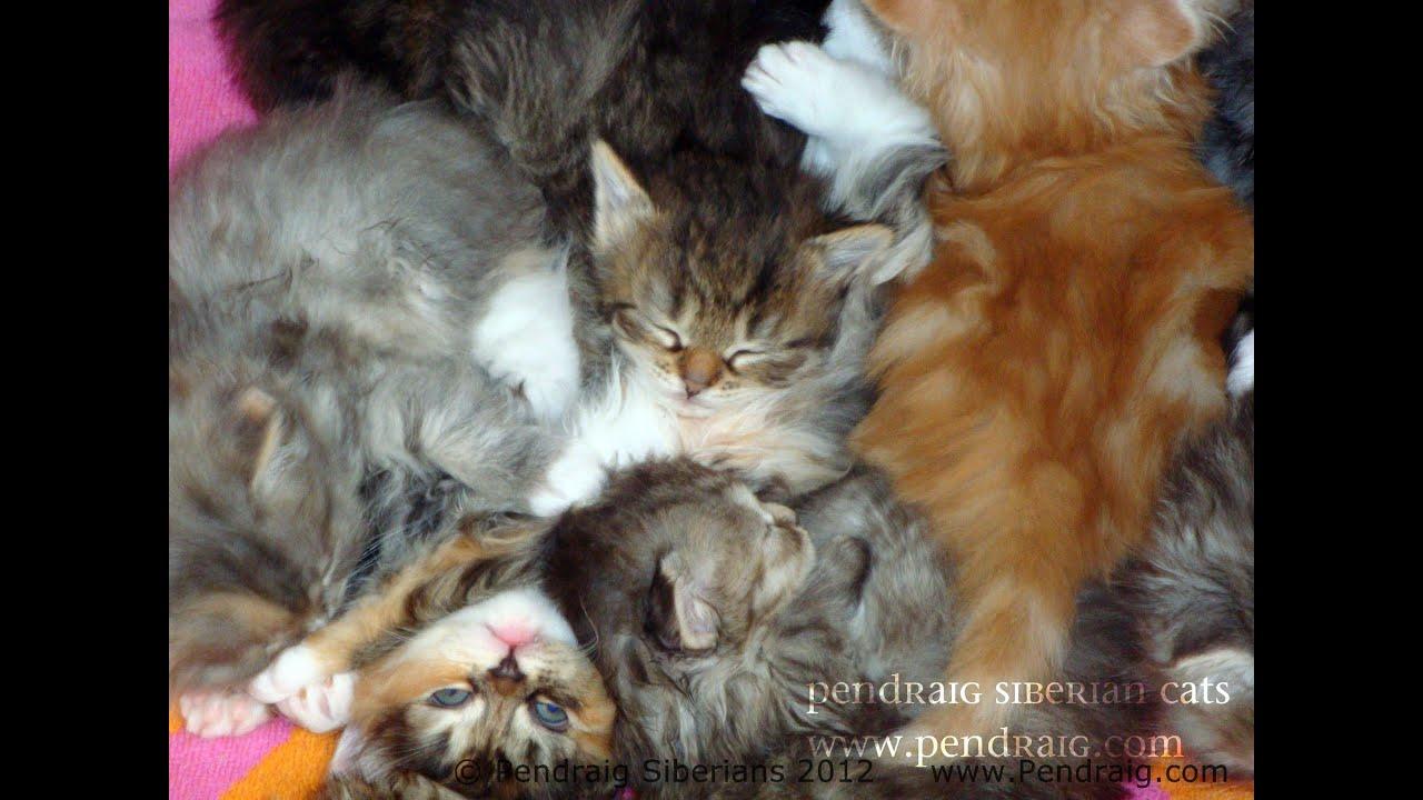 Pile O Siberian Kittens By Pendraig Siberians Youtube
