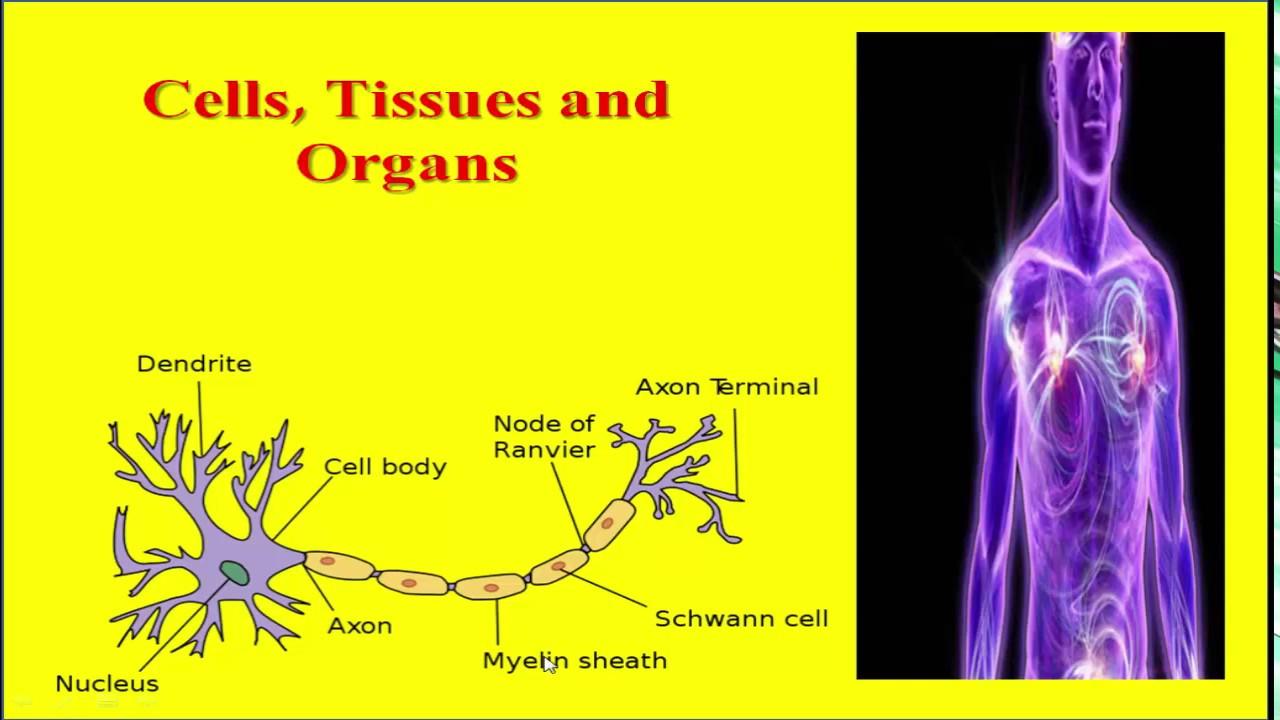 Cells Tissues and Organs in Urdu Hindi - YouTube