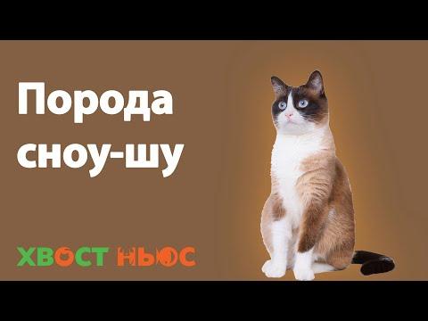 Порода кошек СНОУ-ШУ. Характер, здоровье.