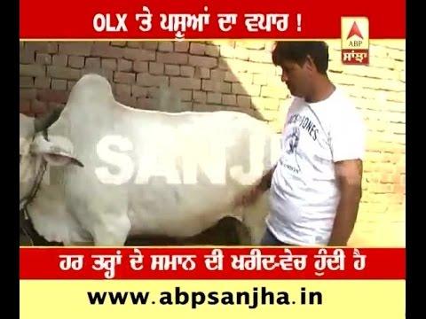 Buffalos For Sale On Olx ! - YT