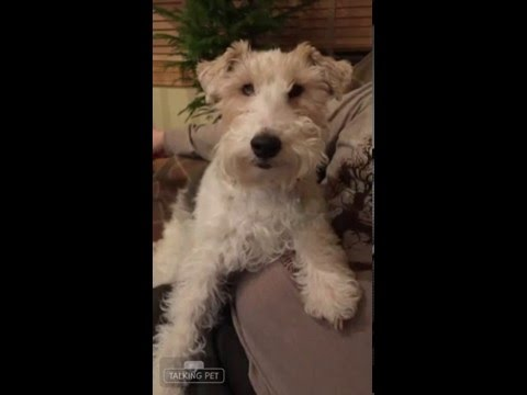 Wire Fox Terrier LILLY - I LOVE MEN! - YouTube