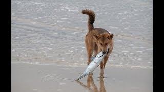Самые древние и дикие собаки, которые живут в природе и не признают человека