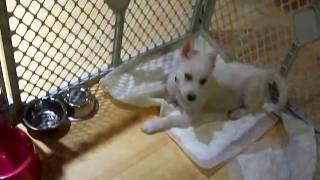 Siberian Husky Puppies Barking At Food Bowl