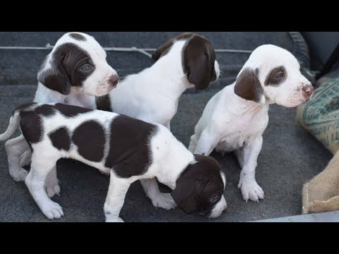American Pointer puppies for sale at Machhiwara Sahib Punjab