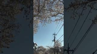花見ドライブ  ♪ ももちひろこ/桜ナミダ