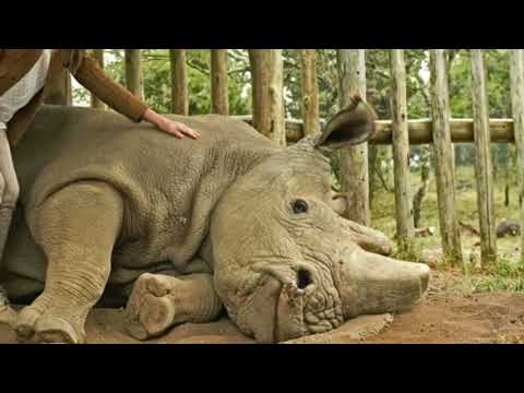 The Last Male Northern White Rhino On Earth Just  Extinct !