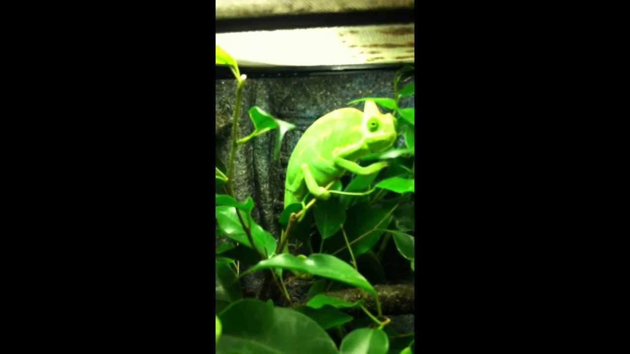 Veiled Chameleon Tank Youtube