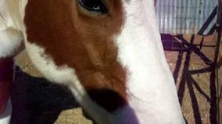 My horse eating a sugar cube!