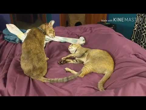 It's the final meowdown! Cat battle number one. #cat #catfight #funnycats #orientalshorthair