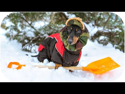 DOG shoveling the SNOW! Try not to laugh or grin!