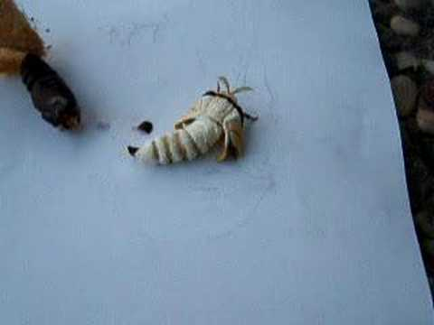 Indian moon moth eclosion (Actias selene) Part 3