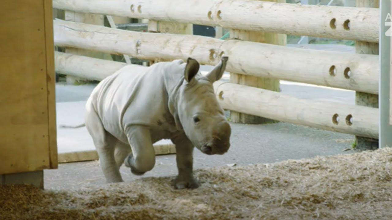 Meet our four-week-old rhino calf Nyah!