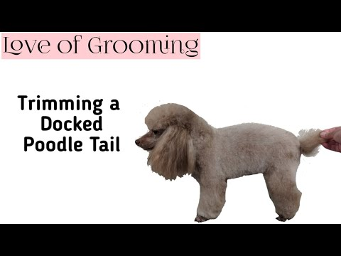 How to Trim a Poodles Short Docked Tail