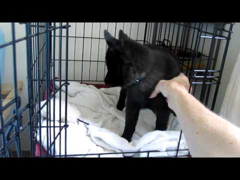 Bob the Schipperke puppy waking up & being super sweet.