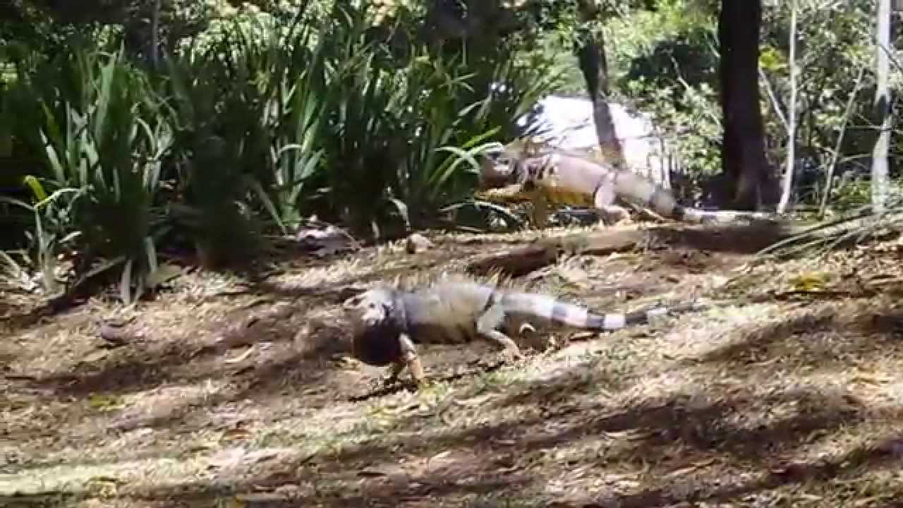 Iguanas jardin botanico medellin colombia 7 2015 youtube for We jardin 2015